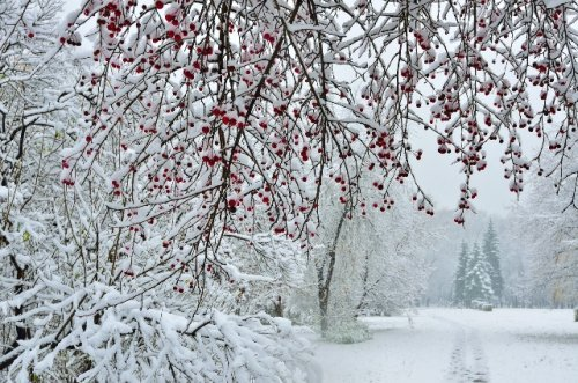 Snowy trees Fotolia