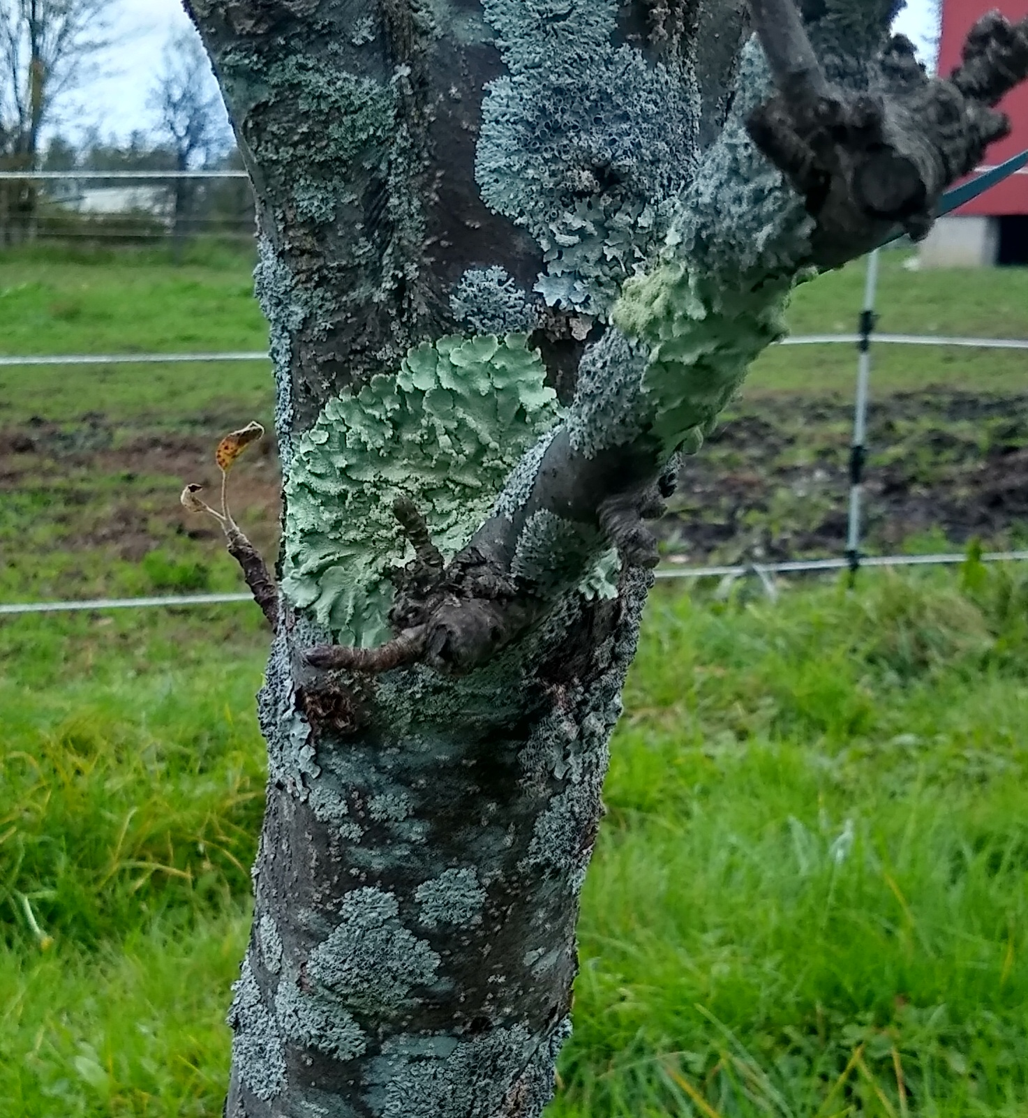 Lichen Growth on an Apple Tree in Wayne County PA